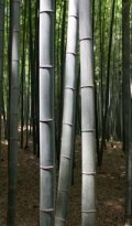 live bamboo stalks