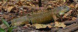 Iguana along bank