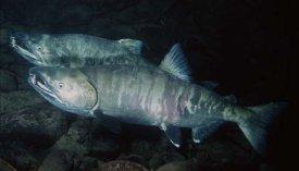 School of Chum Salmon