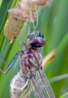 Dragonfly Nymph emerging to become an Adult