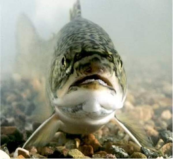 Face to Face with the Apache Trout