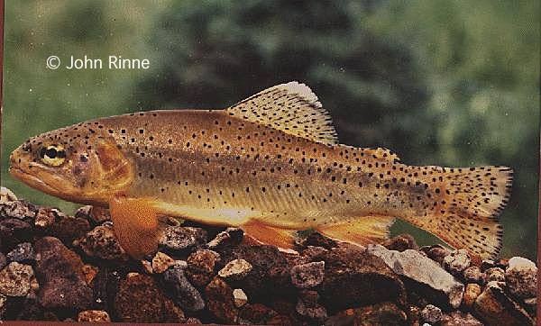 Apache trout a tribe on the arizona reservation for Trout fishing in az