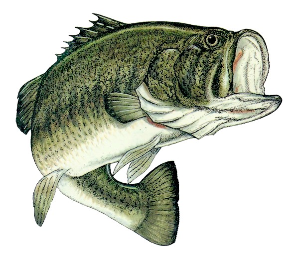 Largemouth bass for Bass pro monster fish