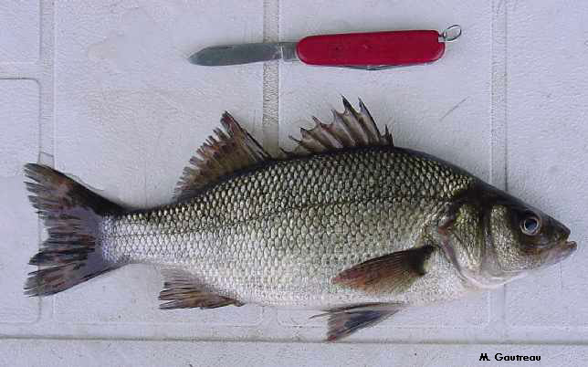 Perch recipes for White perch fish