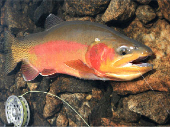 A glow in the water for Golden trout fishing