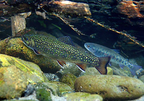 BROOK TROUT ARE TECHNICALLY CHAR