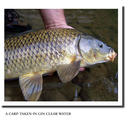 Carp caught on a fly