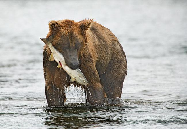 Chum Salmon meets Alaskan Bear -- Bye, Bye, Salmon