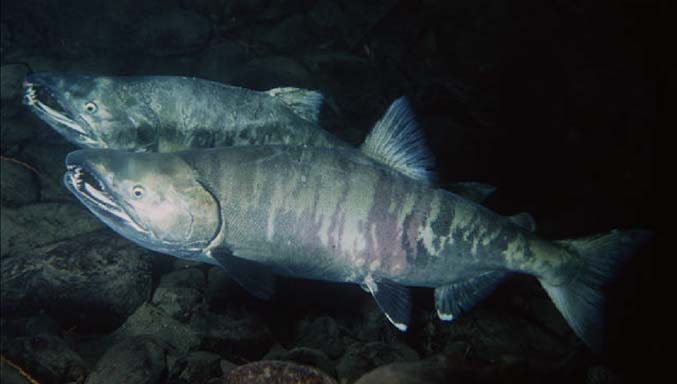 School of Chum Salmon