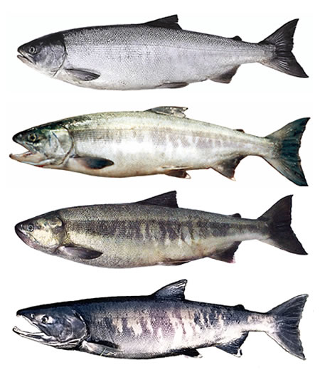 A Chum Salmon's Progression Through Life