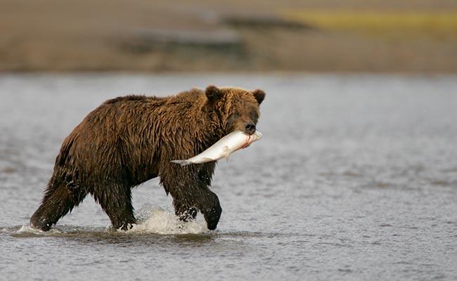 coho-meets-bear