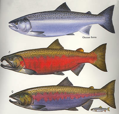 3 stages of the Coho salmon