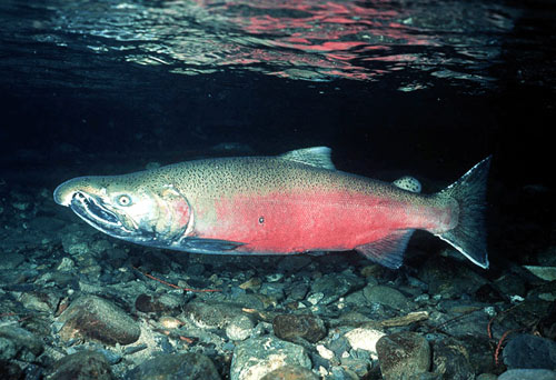 HOOKED-NOSED SALMON