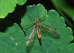 crane fly artificial