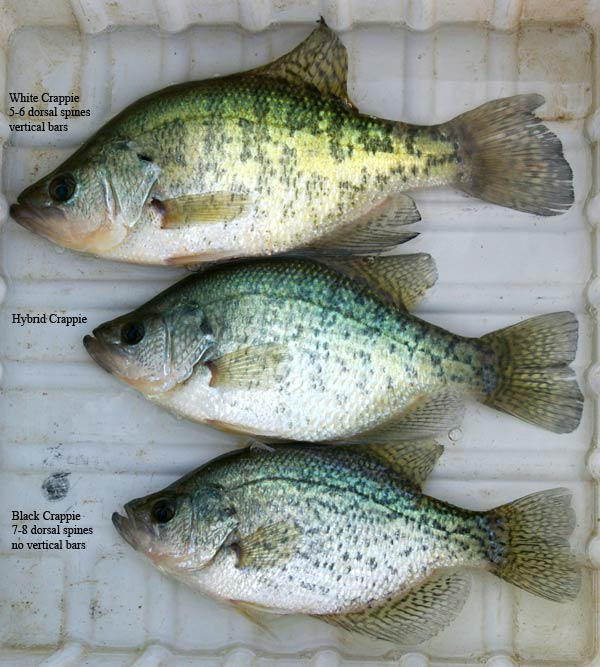 The planning is over page 31 for Crappie fishing florida