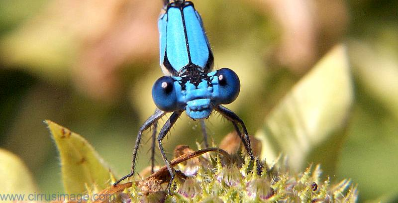 blue dancer damselfly