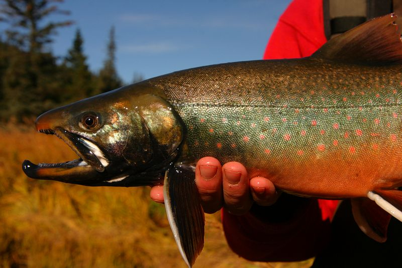The Dolly Vsrden trout is technically a char and is also known as the Arctic Char aa well as the Bull Trout