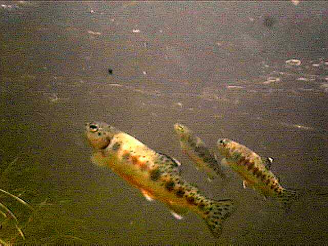 School of Golden Trout