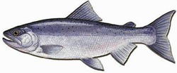 Landlocked, the Kokanee in its Normal Colors