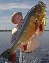 Peacock Bass grow VERY large in the Amazon