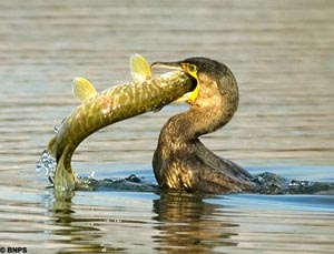 Pike meets Cormorant