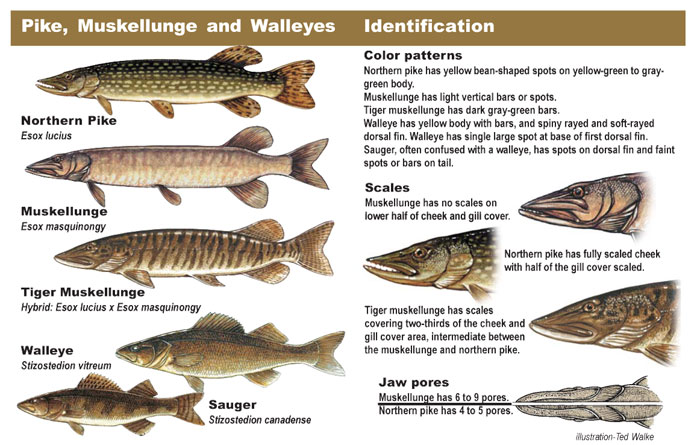 Pike, Muskellunge, & Walleye identification