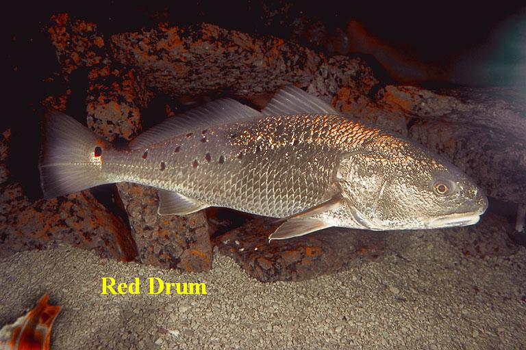 Redfish a.k.a. Red Drum, Channel Bass
