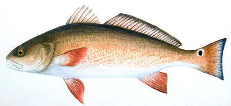 Channel Bass (Red Drum, Redfish)