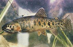 Rio Grande Cutthroat Trout