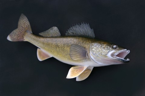 Wally the Walleye