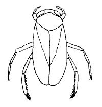 water boatman illustrated