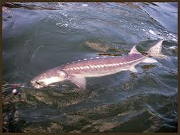 Was this the Columbia River Sturgeon that I lost???