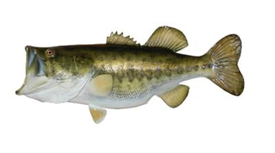 Largemuth Bass