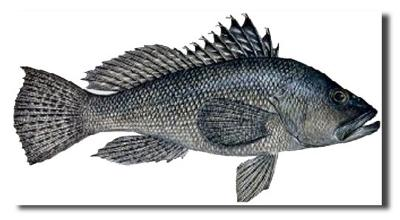 Sea Bass (large)